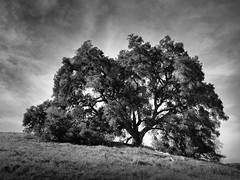 Grand Tree (StefanB) Tags: 2017 bw california clouds geotag nexus6p outdoor sanjose santateresacountypark sky tree treescape