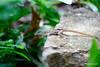 "Small Gecko (Antigua) (runintherain) Tags: runintherain canon450dxsi canon canonxsi caribbean antigua waladi westindies leewardislands antiguaandbarbuda"" island animals natureanimalsantiguacaribbeanventura"