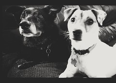 Brother from another mother (Alloa2013) Tags: dogs dog pet cutepet friends collie bordercollie jackrussell terrier home samsungs7 furbabies family monochrome blackwhite