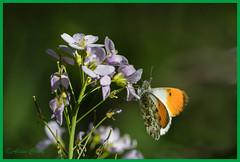 04-6913 (fix.68) Tags: aurore bleu fleur fleuretfruit papillon