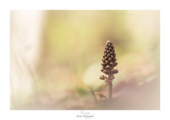 Morning sweetness (Naska Photographie) Tags: naska photographie photo photographe paysage proxy proxyphoto macro macrophotographie macrophoto fleur flower floral orchidée nid doiseau doux douceur sweet sweetness morning matin pastel color couleur bokeh ambiance univers