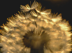 Dandelion (Chris A M) Tags: dandelion seedhead seed seeds backlit golden macro xpro2 xseries fuji fujifilm fujinon