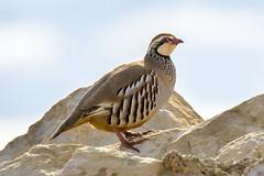 red- legged Partridge (Yvonne Alderson) Tags: red legged partridge moorland game bird