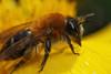 Miner bee on marsh marigold #3 (Lord V) Tags: macro bug insect bee minerbee