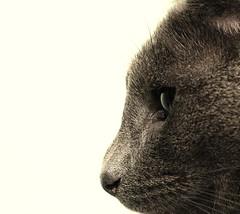 Cat, profile. (graemes83) Tags: pentax yongnuo flash cat russian blue profile eye