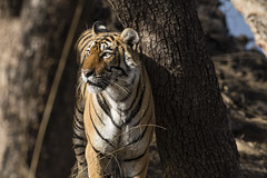 Arrowhead (Shubh M Singh) Tags: arrowhead tigress india ranthambhore rajasthan wildlife tiger