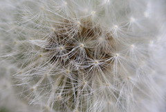 Pretty Hairstyle (ivlys) Tags: löwenzahn pusteblume dandelion blowball