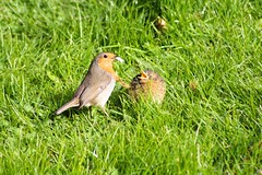 Robin feeding one of it's chicks (Kay Musk) Tags: robin europeanrobin erithacusrubecula bird wildlife wild nature nikond3200 chicks essex uk 2017