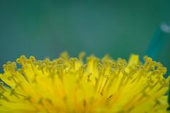 Curled Like a Golden Lion (JeffMoreau) Tags: dandelion weeds bokeh macro bokehlicious sony a7ii 90mm backyard flower