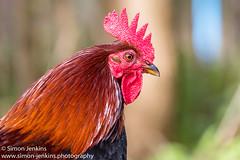 Image-0140.jpg (Simon A. Jenkins) Tags: cockerel rspbfowlmere