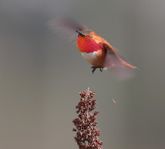 Taking off on Blink of an Eye (Eric_Z) Tags: rufoushummingbird male redgorget red throat colonyfarmregionalpark coquitlam bc canada birdsofbritishcolumbia birdsofnorthamerica hummingbird