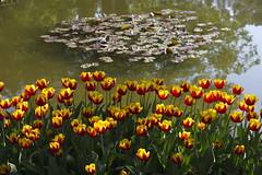 _DSC0844 (Riccardo Q.) Tags: parcosegurtàtulipani places parco altreparolechiave fiori tulipani segurtà