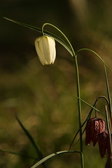 Snake's-head Fritillary (Derbyshire Harrier) Tags: fritillariameleagris 2017 derbyshire spring april snakesheadfritillary holmesfield cultivated