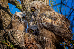 Three-of-a-kind (soupie1441) Tags: london ontario canada nikon d7200 bird animal nature wildlife wild life horned great owl owls owlet owlets tree nest brood 200500mm nikkor cute adorable ngc