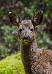 Yound doe, head shot (John F. Anderson) Tags: deer doe morrellnaturesanctuary nanaimo forests britishcolumbia