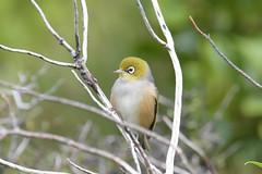 Silvereye (Seabird NZ) Tags: newzealand nikond810a sigma120300mmf28 nature bird canterburyhighcountry mountcook silvereye waxeye telephoto