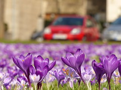 Purple flowers and the red car (Christa_P) Tags: spring frühling flowers flora blumen blüte blossom crocus purple lila rot red
