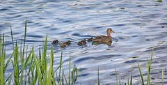 Follow me... (oliko2) Tags: duck ducklings swim lake water flückigerseee seepark freiburg nature nikond7100 nikkor85mmf18