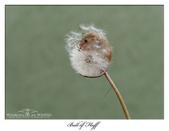 Little Ball of Fluff ! (deanmasonwp) Tags: wildlife nature photography image picture animal mammal harvest mice mouse rodent dandelion head eating lunch dean mason windows dorset workshop nikon d3s sigma 105mm f28 tiny minute
