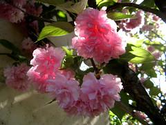 Des pompons éphémères (myvalleylil1( absente jusqu'au 27 avril)) Tags: france var fleurs printemps arbre bloom spring