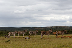 Zebras lining up at the dam (charissadescande) Tags: africa natural safari herd william mammal standing look animal plains subspecies wild herbivore way naturalist black burchells quagga white lines eating stripes grass explorer south closeup zebra sky time national pattern outdoors nature african burchell striped after john wildlife southern travel background british camera grassland park named green wilderness field