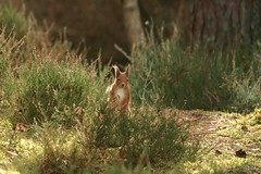 Peek a Boo (Sybalan,) Tags: morayshire coastal canon scotland sunny squirrel httpsybalanphotographyweeblycom 760d boat sunset wildlife woodland north east outdoor forest folage ant wood wild