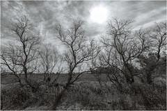 Danza a contraluz (Fernando Forniés Gracia) Tags: españa aragón zaragoza pastriz laalfranca paisaje landscape nubes cielo naturaleza blancoynegro bw monocromático virado contraluz árboles
