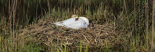 Laid-back swan breeds on her safe nested island