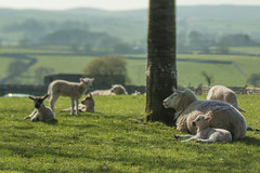 Lazy Days (jillyspoon) Tags: sheepsunday sheep yorkshire young lambs grassington pastoral relaxed lazy lazydays pature pasture grazing flock canon70d canon lensbaby lensbabyedge50 selectivefocus spring northyorkshire dales