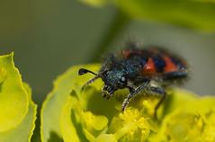 le trichode des ruches ou clairon (Doriane Boilly Photographie Nature) Tags: insecte macro prairie rouge nature détails le trichode des ruches ou clairon