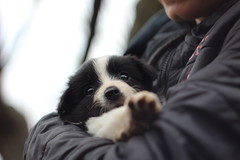 Puppies love (barbibuza) Tags: love puppy bordercollie littledog canon 1300d