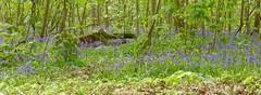 bluebell girls (canecrabe) Tags: jacinte jacintesauvage sousbois rambouillet drouette printemps