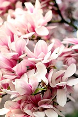 #Hobbyfotografie #Hobbyfotograf #Frühling #blickwinkel #Blüte #Blume #Spring #Magnolie #rosa #blüht #Canon #Flowers (nicolewenzel) Tags: hobbyfotografie hobbyfotograf frühling blickwinkel blüte blume spring magnolie rosa blüht canon flowers