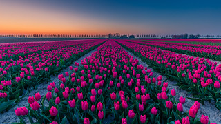 Sunset @ Tulips
