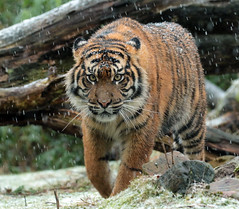 sumatran tiger Burgerszoo JN6A1964 (joankok) Tags: tiger tijger sumatraansetijger sumatrantiger pantheratigrissumatrea kat cat asia azie sumatra mammal zoogdier burgerszoo predator sneeuw snow pantheratigris animal dier