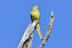 Blue-winged Parrot_4182E (Neophema chrysostoma) (Neil H Mansfield) Tags: parrot bird nature blue bluewingedparrot neophemachrysostoma
