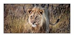 The young king (Markus Messner) Tags: world africa namibia hot travel dry savannah safari wild wildlife nature animal lion predator etoshanationalpark etosha nationalpark landscape canon eos dslr fullframe 5dmarkii welt afrika reise savanne tier wildtier natur raubtier raubkatze löwe spiegelreflex vollformat 141 141pictures markusmessner
