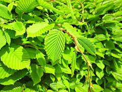 vivid green fresh spring Beech Hedge (John(cardwellpix)) Tags: sunday 23rdapril 2017 vivid green fresh spring beech hedge brooklands weybridge surrey uk