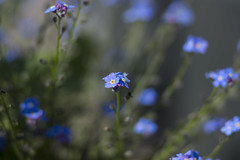 Spring in blue (milance1965) Tags: sony a77 80mm blue blau spring springflower flower pflanze blume