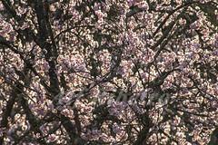 Alf Ribeiro 0135 0060 (Alf Ribeiro) Tags: corderosa flor flores galhos parqueurbano parquedocarmo planta prunussp regiãosudeste cerejeira ensolarado flora floração florida florido inverno zonaleste árvore