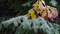 Oak & spruce, The Hermitage, Dunkeld (Niall Corbet) Tags: scotland perthshire dunkeld hermitage nts nationaltrustforscotland autumn leaf oak quercus