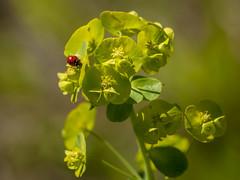 Un rêve en couleur **---+° (Titole) Tags: coccinelle ladybug ladybird bokeh euphorbe euphorbia euphorbiarobbiae nicolefaton titole 15challengeswinner thechallengefactory perpetual
