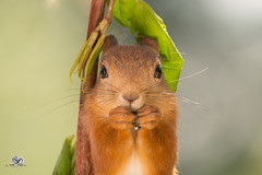 head cover (Geert Weggen) Tags: red nature animal squirrel rodent mammal cute look closeup stand funny bright sun backlight eyes hypnosis staring food dinner hold hide glimpse peek top up balance branch leaves shine spring background bamboo happy geert weggen sweden jämtland ragunda bispgården