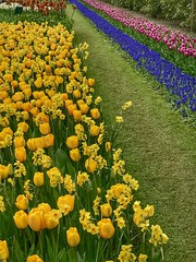 Keukenhof - The Netherlands (darrenboyj) Tags: flowerbed flowers keukenhof spring holland netherlands lines nature yellow color colour