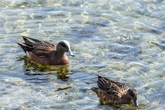 American Widgeons-Explored 21-APR-17 (Warp Factor) Tags: canont4i americanwidgeon spring2017 stanleypark tamron150600mm birds mating nests duckscanont4iheronnestingpacificgreatblueheronsspring2017stanleyparktamron150600mmbirdsmatingnestsrookery