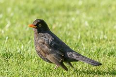 Blackbird-7433 (iancooper6) Tags: bird nature wildlife outdoors animal bolton blackbird rumworthlodge