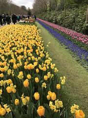 Keukenhof - Tulip Gardens (darrenboyj) Tags: tulips flowerbed yellow daffodils flowers spring lines keukenhof holland netherlands