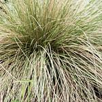 Pine muhly thumbnail