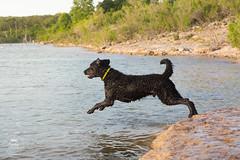 17/52 Nemo (- Una -) Tags: 52weeksfordogs nemo curly curlycoatedretriever ccr retriever curlydog dog animal blackdog blackcurlycoatedretriever texas lake georgetownlake