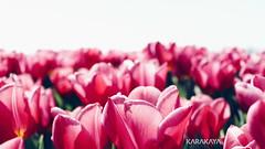 #photography #canon700d #istanbul #bahar #spring #flowers #flower #snapseed  #çiçek #colorofspring #colourful #tulip #tulips #lale #lalefestivali #florya (oppeslife) Tags: çiçek snapseed colourful tulips flower lale photography lalefestivali bahar colorofspring tulip florya spring canon700d istanbul flowers